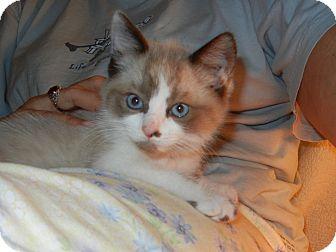 Snowshoe Kitten for adoption in Southington, Connecticut - Winston