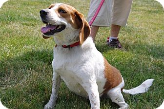 Beagle Mix Dog for adoption in Elyria, Ohio - Georgia