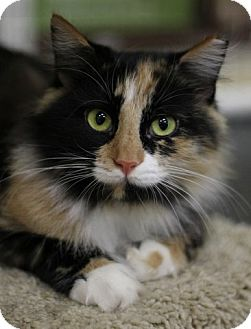 Calico Cat for adoption in Alexandria, Virginia - Autumn