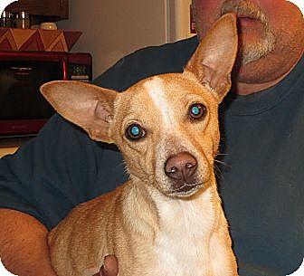Corgi/Dachshund Mix Puppy for adoption in Salem, New Hampshire - Sammy