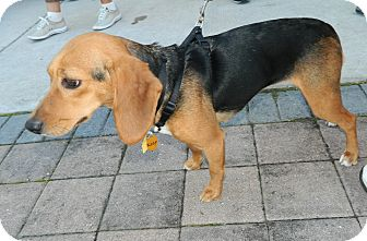 Beagle/Hound (Unknown Type) Mix Dog for adoption in Umatilla, Florida - Zoey
