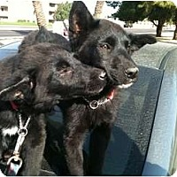 Adopt A Pet :: Laverne & Shirley - Phoenix, AZ