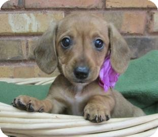 Dachshund Mix Puppy for adoption in Benbrook, Texas - Kate