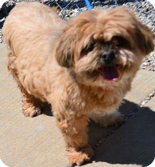 Lhasa Apso Mix Dog for adoption in Fruit Heights, Utah - Wanda