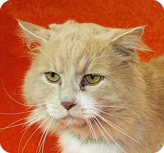 Persian Cat for adoption in Jackson, Michigan - Brayden