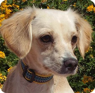 Terrier (Unknown Type, Small) Mix Dog for adoption in Las Vegas, Nevada - Huffy