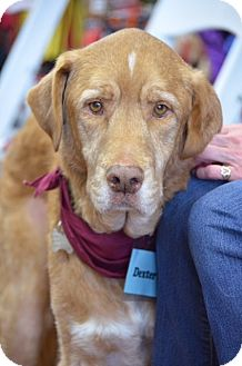 Golden Retriever Mix Dog for adoption in BIRMINGHAM, Alabama - Dexter