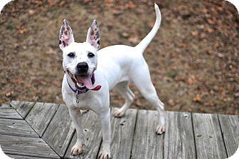Bull Terrier/Boston Terrier Mix Dog for adoption in Bogart, Georgia - Widget