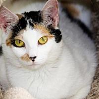 Domestic Shorthair Cat for adoption in Atlanta, Georgia - Sansa 150077