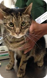 Domestic Shorthair Cat for adoption in Parma, Ohio - Andy