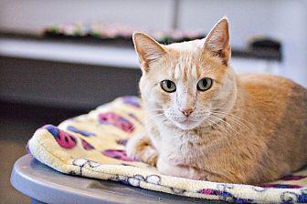Domestic Shorthair Cat for adoption in Lincoln, Nebraska - Butterball