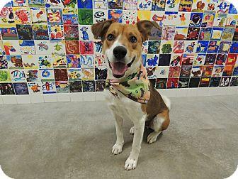 Labrador Retriever/Shepherd (Unknown Type) Mix Dog for adoption in Quincy, Illinois - Rascal