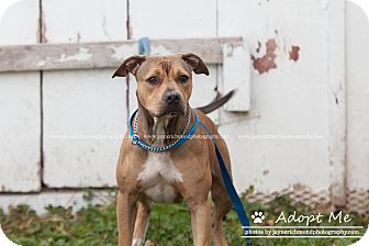 American Pit Bull Terrier Mix Dog for adoption in Reed City, Michigan - GYPSY