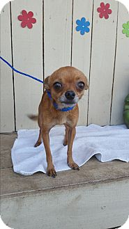 Chihuahua Dog for adoption in Houston, Texas - CHESTER