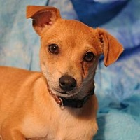 Chihuahua Dog for adoption in Dallas, Texas - BARKLEY - Chihuahua