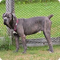 Adopt A Pet :: Mr. Big - Rigaud, QC