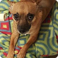 Chihuahua/Dachshund Mix Dog for adoption in Tomball, Texas - Bell