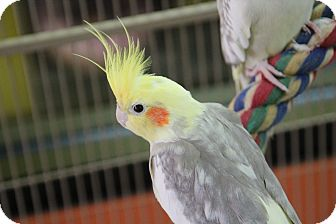 Cockatiel for adoption in Benbrook, Texas - Ducky