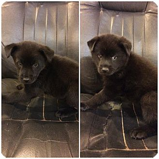 Chow Chow Mix Puppy for adoption in Broadway, New Jersey - Macadamia
