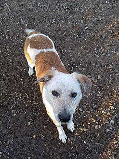 Cattle Dog/Border Collie Mix Dog for adoption in Red Bluff, California - Jasper