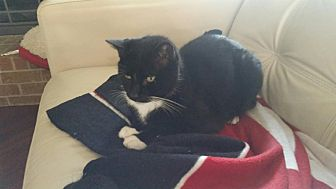Domestic Shorthair Cat for adoption in Houston, Texas - Ray