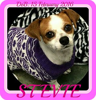 Jack Russell Terrier Mix Dog for adoption in New Brunswick, New Jersey - STEVIE