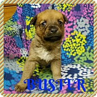Shepherd (Unknown Type) Mix Puppy for adoption in New York, New York - BUSTER