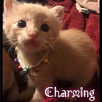 Domestic Shorthair Kitten for adoption in Maumelle, Arkansas - Charming - (217) Foster / 2017
