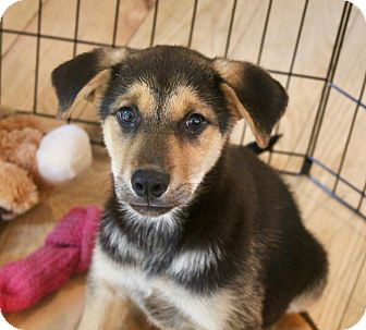 German Shepherd Dog/Shepherd (Unknown Type) Mix Puppy for adoption in Bedford Hills, New York - Sapphire