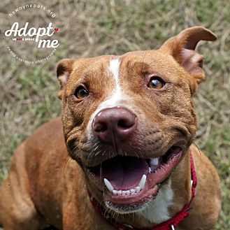 American Pit Bull Terrier Mix Dog for adoption in Lyons, New York - Kane