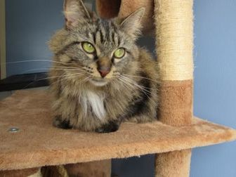 Domestic Mediumhair/Domestic Shorthair Mix Cat for adoption in Northfield, Minnesota - Agnes