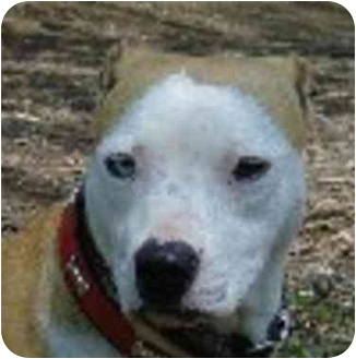 American Pit Bull Terrier/Husky Mix Dog for adoption in Eatontown, New Jersey - Jasmine