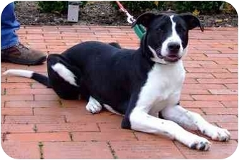 Border Collie Mix Dog for adoption in Batavia, Ohio - Leyla
