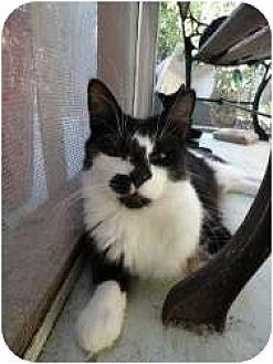 Domestic Mediumhair Cat for adoption in Toluca Lake, California - Liam