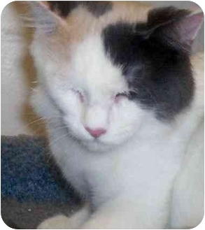Calico Cat for adoption in Richmond, Virginia - Poof