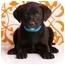 Photo 1 - Labrador Retriever Mix Puppy for adoption in Portland, Oregon - Ari