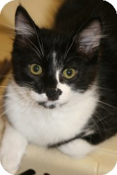Domestic Mediumhair Kitten for adoption in Quilcene, Washington - Moe