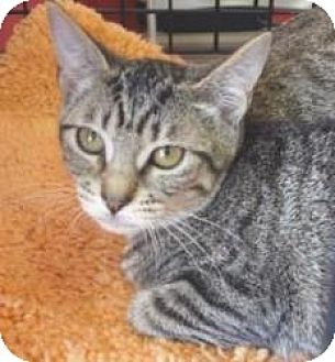 Domestic Shorthair Kitten for adoption in Miami, Florida - Snack Pack