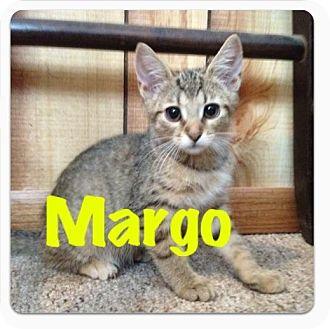 Domestic Shorthair Kitten for adoption in Fairborn, Ohio - Margo