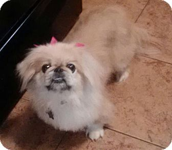 Pekingese Dog for adoption in Vansant, Virginia - Fluffy (in Milton, VT)