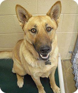 German Shepherd Dog Mix Dog for adoption in Wickenburg, Arizona - Delgado