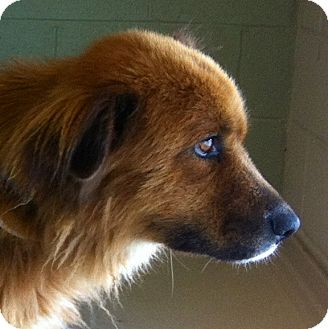 Golden Retriever Mix Dog for adoption in Oswego, Illinois - Finnegan