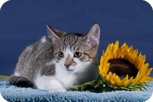 Domestic Shorthair Kitten for adoption in Wayne, New Jersey - Leo