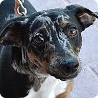 Adopt A Pet :: Cappuccino - Gilbert, AZ