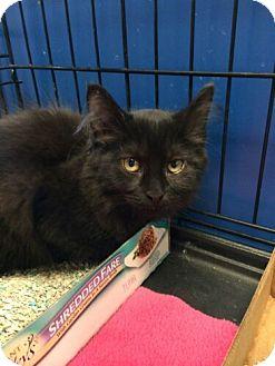 Domestic Longhair Kitten for adoption in Avon, Ohio - Juan