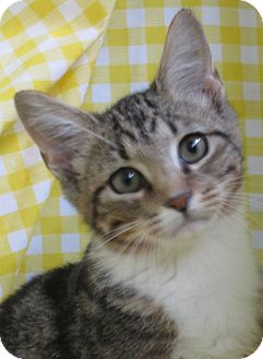 Domestic Shorthair Cat for adoption in Pueblo West, Colorado - Lucy