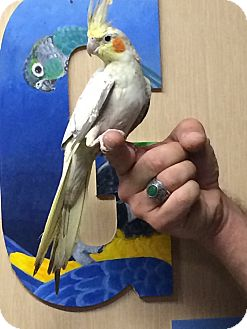 Cockatiel for adoption in Woodbridge, New Jersey - Charlie