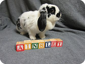 Mini Lop Mix for adoption in Newport, Delaware - Ainsley