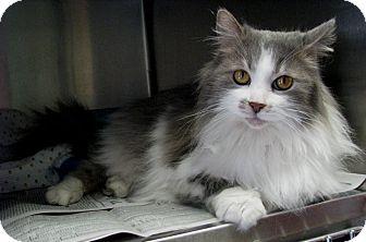 Domestic Longhair Cat for adoption in New Kensington, Pennsylvania - Garnet