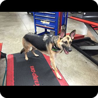 German Shepherd Dog Dog for adoption in Houston, Texas - Bravo